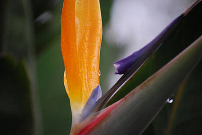 A Bird Of Paradise I Art Print