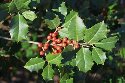 Photograph - A Bit Of Holly For Christmas by Frank Wickham