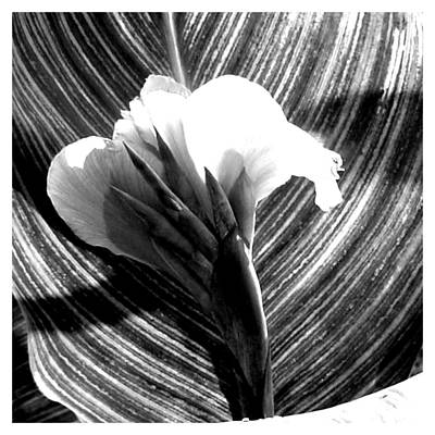 Photograph - A Black And White Canna Claw by Frank Wickham