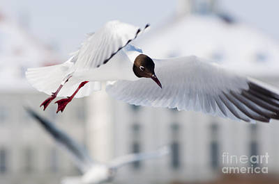 Flying Bird Photograph - A Black-headed Gull In Flight by Andrew  Michael