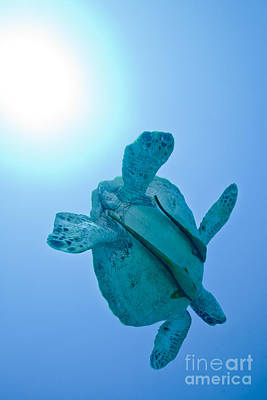 Green Sea Turtle Photograph - A Black Sea Turtle With Attached by Michael Wood