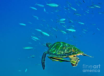 Green Sea Turtle Photograph - A Black Sea Turtle With Remora Swim by Michael Wood