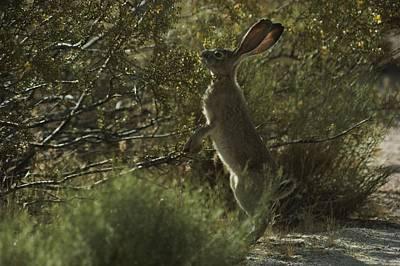 Desert Jackrabbit Photograph - A Black-tailed Jackrabbit Browses by Jonathan Blair