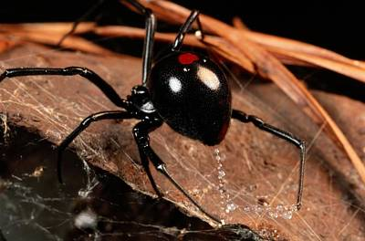 Black Widow Spider Photograph - A Black Widow Spider Latrodectus by George Grall
