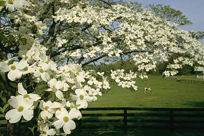 A Blossoming Dogwood Tree In Virginia Print by Annie Griffiths