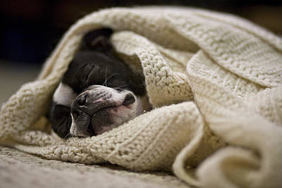 A Boston Terrier Sleeps In A White Art Print by Hannele Lahti