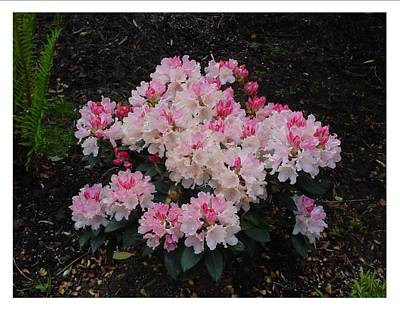 Art Print featuring the photograph A Bouquet Of Pink And White by Frank Wickham