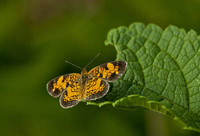 Pearl Crescent Photograph - A Brief Moment Of Rest by Dale Kincaid