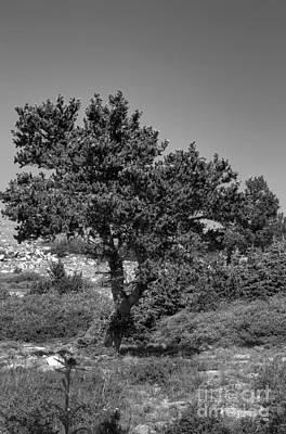 Photograph - A Bristlecone by David Bearden