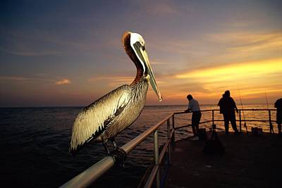 Docks Etc Photograph - A Brown Pelican Sits On The Pier by Scott Sroka