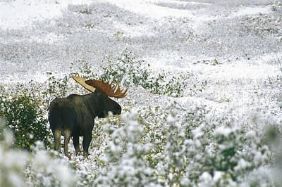 A Bull Moose On A Snow Covered Hillside Art Print by Rich Reid