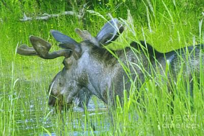 Swamp Thing Photograph - A Bull Moose Wading His Pond by Jeff Swan