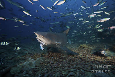 A Bull Shark Picks Up A Large Tuna Head Print by Terry Moore