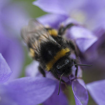 Photograph - A Busy Bee by Zoe Ferrie