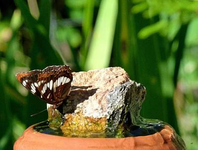 A Butterfly Enjoys A Drink Print by Will Borden
