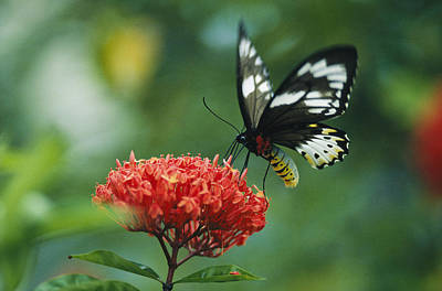 A Butterfly On A Clustered Flower Art Print