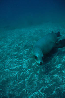 A California Sea Lion Swims Close Art Print by Heather Perry