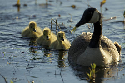 Concord Photograph - A Canada Goose Branta Canadensis Family by Tim Laman