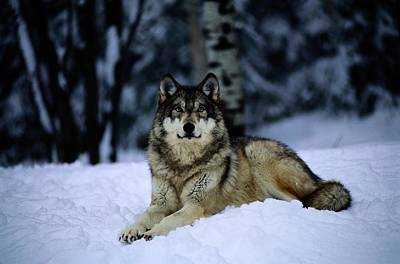 A Captive Grey Wolf, Canis Lupus Art Print by Joel Sartore