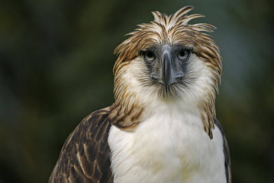 Forests And Forestry Photograph - A Captive Male Philippine Eagle by Klaus Nigge