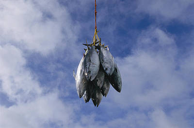 A Catch Of Bluefin Tuna Is Suspended Art Print by Nick Caloyianis