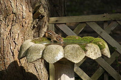 Photograph - A Chipmunk At The Birdbath by Margie Avellino