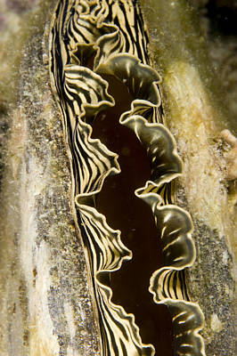 Malapascua Island Photograph - A Clam With A Striped Mantle by Tim Laman