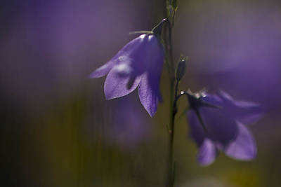 A Close-up Image Of Mountain Hairbells Art Print by Ralph Lee Hopkins