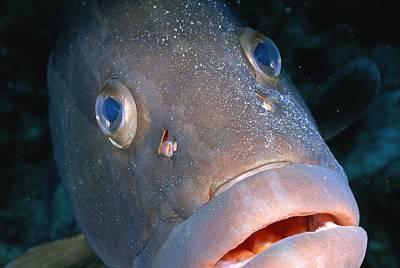 Grand Turk Island Photograph - A Close-up Of A Nassau Grouper Fish by Wolcott Henry