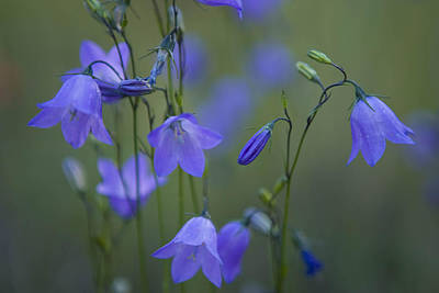 A Close Up Of Mountain Hairbells Dietes Art Print by Ralph Lee Hopkins