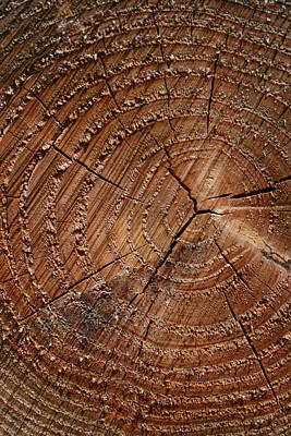 Aging Photograph - A Close Up Of Tree Rings by Sabine Davis