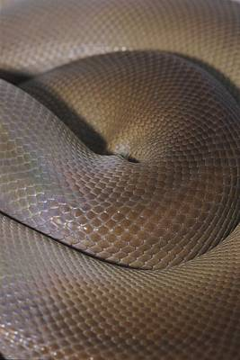 A Close View Of A Coiled Olive Python Art Print
