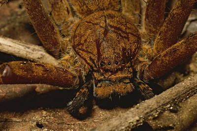 Huntsman Spider Photograph - A Close View Of A Large Huntsman by Tim Laman