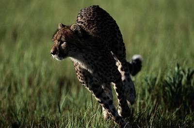 A Close View Of An African Cheetah Art Print by Chris Johns