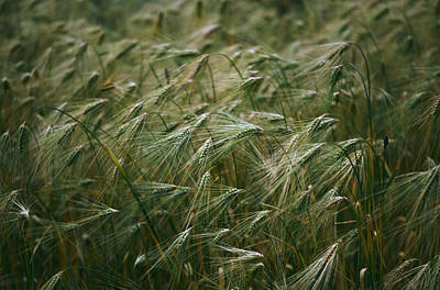 Kali Photograph - A Close View Of Barley Blowing by Gordon Wiltsie