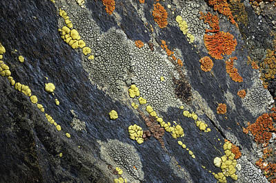 Crustose Photograph - A Close View Of Crustose Lichens by Sylvia Sharnoff