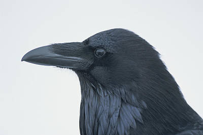 A Close View Of The Head Of A Raven Art Print by Tom Murphy