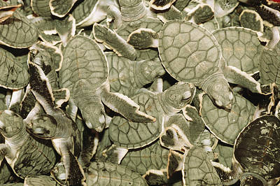 Green Sea Turtle Photograph - A Cluster Of Baby Green Sea Turtles by Tim Laman