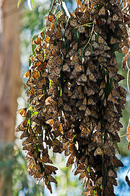 Photograph - A Cluster Of Monarchs by Roger Mullenhour