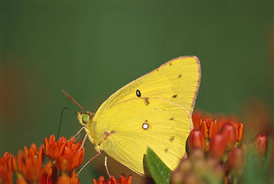 Colias Philodice Photograph - A Common Sulfur Butterfly On Flowers by Joel Sartore