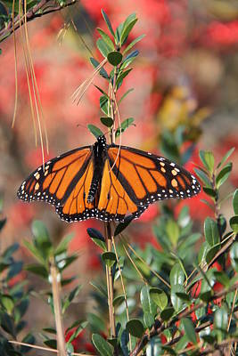 Photograph - A Cool Butterfly by Frank Wickham