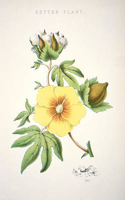 Rose Branch Painting - A Cotton Plant by American School