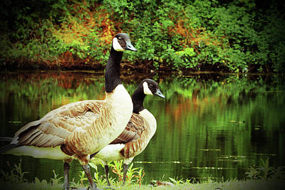 Photograph - A Couple Of Geese by Karol Livote