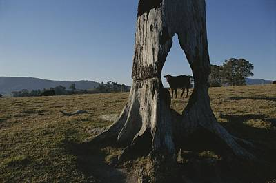 A Cow Is Framed By A Tree Trunk Art Print