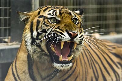 A Critically Endangered Sumatran Tiger Art Print