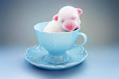 Colored Background Photograph - A Cute Teacup Puppy by Amy Lane Photography