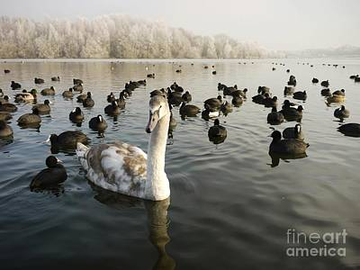 A Cygnets First Winter Art Print by John Chatterley