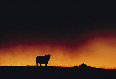 A Dairy Cow Is Silhouetted Print by Chris Johns