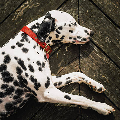 A Dalmatian Sleeping On A Wooden Deck Art Print by © Randall Murrow