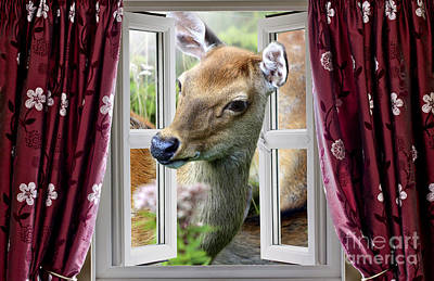A Deer Enters The House Window. Art Print by Simon Bratt Photography LRPS